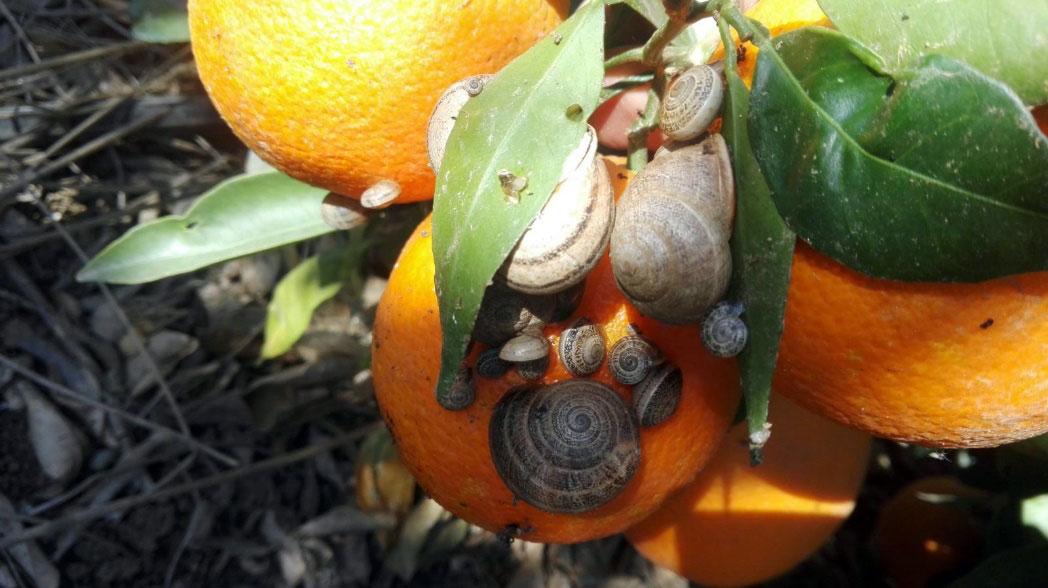 Mejora del control de las plagas de caracoles y babosas en el cultivo de los cítricos